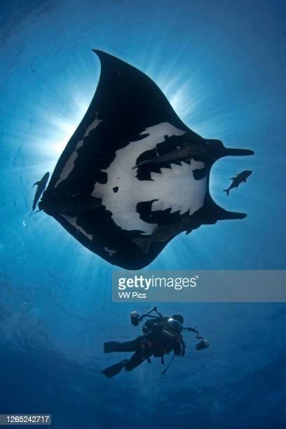 Scuba diver and a Giant Manta Ray in San Benedicto Island, Revillagigedo.