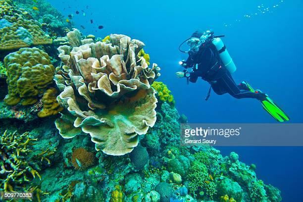 A scuba diver and a huge bunch of hard coral