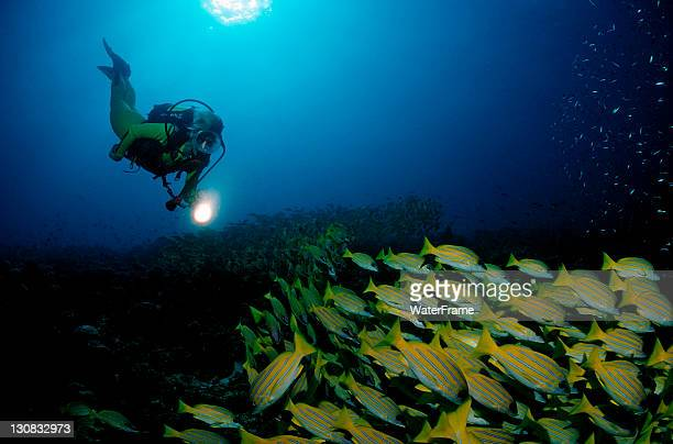 Scuba diver and a school of Bluestripe Snapper (Lutjanus kasmira), Maldive Islands, Indian Ocean
