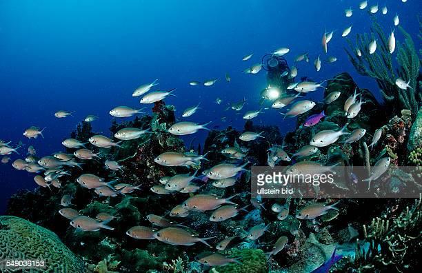 Scuba diver and Brown Chromis, Chromis multilineata, Netherlands Antilles, Bonaire, Caribbean Sea