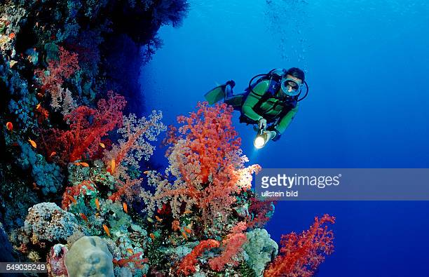Scuba diver and colorful coral reef Egypt Africa Sinai Ras Mohammed Red Sea
