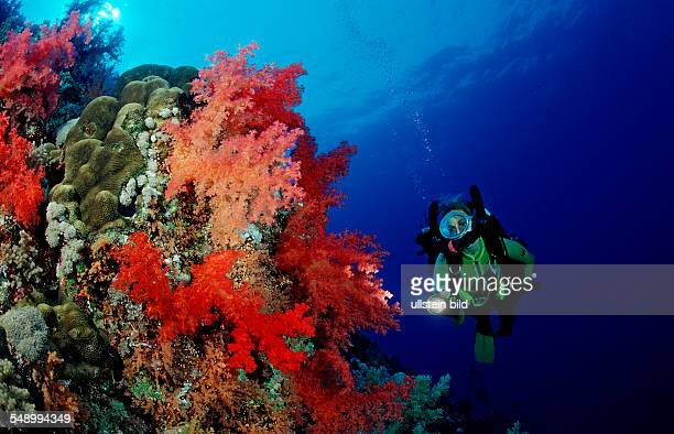 Scuba diver and colorful coral reef, Egypt, Afrika, Elphinstone Reef, Rotes Meer