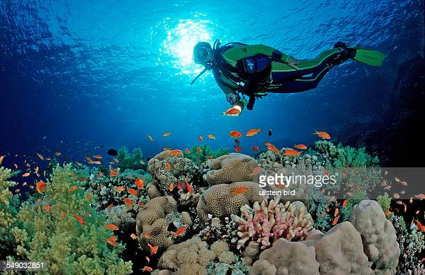 Scuba diver and coral reef Egypt Zabargad Zabarghad Red Sea