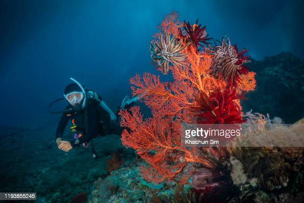 scuba diver and giant sea fan - couleur corail photos et images de collection