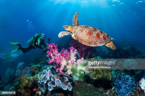 scuba diver and green sea turtle - soft coral stock pictures, royalty-free photos & images