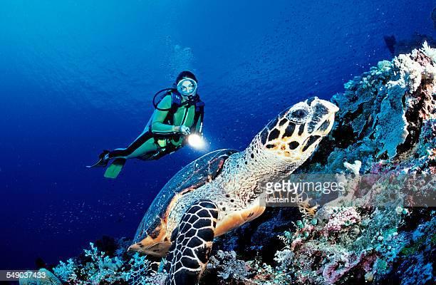 Scuba diver and Hawksbill sea turtle, Eretmochelys imbricata, Malaysia, Layang Layang, South China Sea