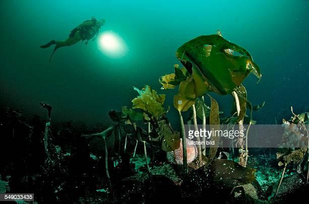 Scuba diver and Kelp Norway Atlantic ocean north atlantic ocean