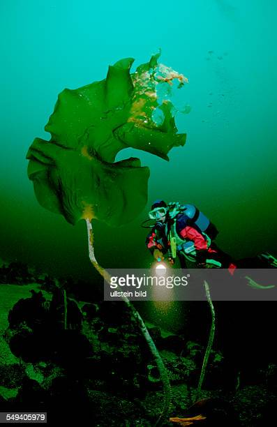 Scuba diver and Kelp Norway Atlantic ocean north atlantic ocean