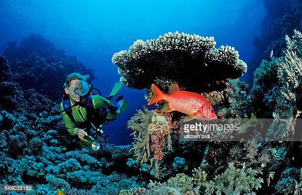 Scuba diver and Longjawed squirrelfish under table coral Sargocentron spiniferum Egypt Zabargad Zabarghad Red Sea
