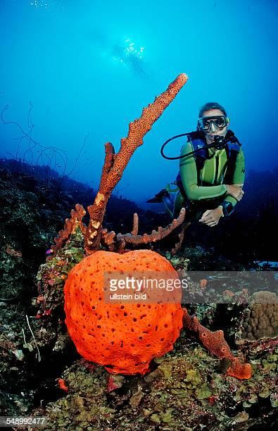 Scuba diver and Orange Elephant Ear Sponge, Agelas clathrodes, Dominica, French West Indies, Caribbean Sea