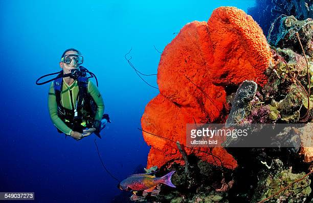 Scuba diver and Orange Elephant Ear Sponge, Agelas clathrodes, Martinique, French West Indies, Caribbean Sea