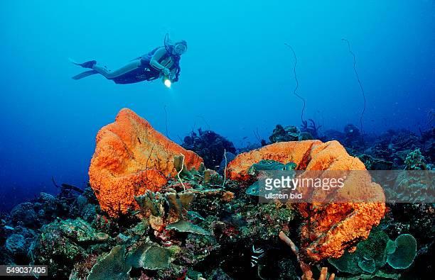 Scuba diver and Orange Elephant Ear Sponge, Agelas clathrodes, Netherlands Antilles, Bonaire, Caribbean Sea