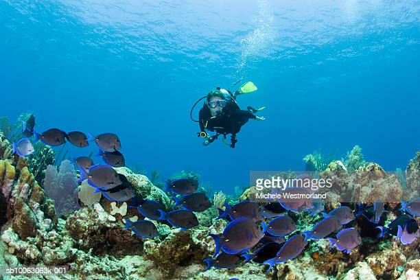 Scuba diver and reef with schooling blue tangs (Acanthurus coeruleus), underwater view