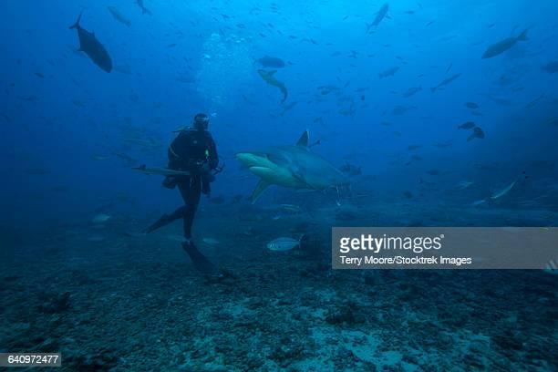 Scuba diver and silvertip shark (Carcharhinus albimarginatus) at The Bistro Dive site in Fiji.