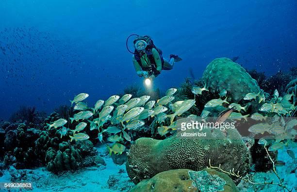 Scuba diver and Smallmouth grunt, Haemulon chrysargyreum, Netherlands Antilles, Bonaire, Caribbean Sea