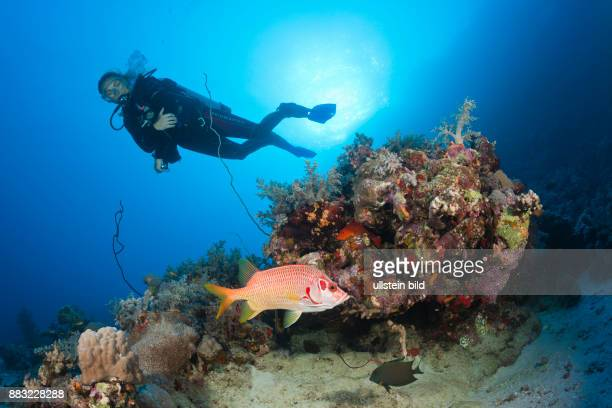 Scuba diver and Squirrelfish Sargocentron spiniferum Red Sea Dahab Egypt