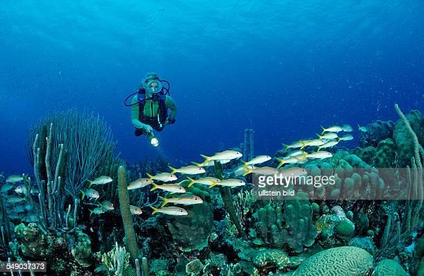 Scuba diver and Yellow Goatfishes Mulloidichthys martinicus Netherlands Antilles Bonaire Caribbean Sea