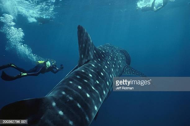 Scuba diver beside whale shark (Rhincodon typus)