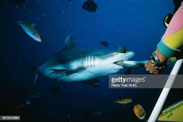 Scuba diver feeding shark