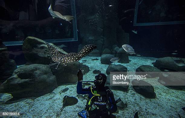 A scuba diver feeds a manta ray at AquaRio South America's largest aquarium in Rio de Janeiro Brazil on Saturday Dec 3 2016 AquaRio houses 8000...
