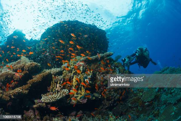 scuba diver is exploring and enjoying coral reef  sea life  sporting women underwater photo - peixe vermelho imagens e fotografias de stock