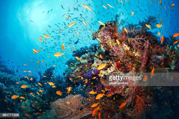 scuba diver is exploring and enjoying coral reef  sea life  sporting women - reef stock pictures, royalty-free photos & images