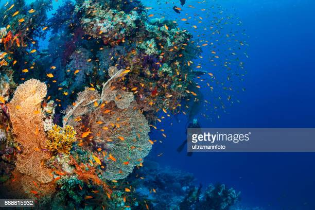 Scuba diver is exploring and enjoying Coral reef  Sea life   Underwater photographer