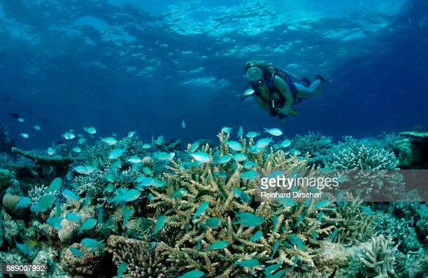 Scuba Diver observing a Coral Reef with schooling Coral Fishes (Chromis viridis)