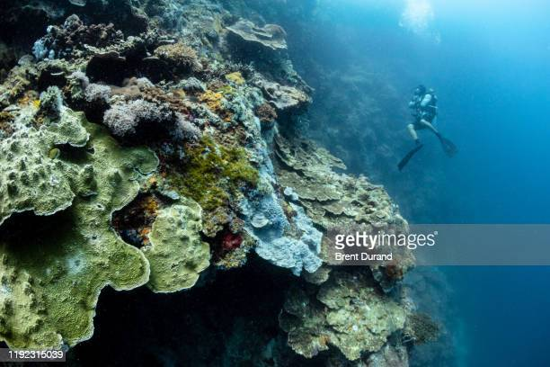 scuba diver on coral wall at apo island - indo pacific ocean stock pictures, royalty-free photos & images