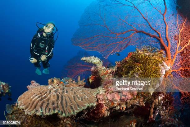Scuba Diver over Coral Reef, Solomon Islands