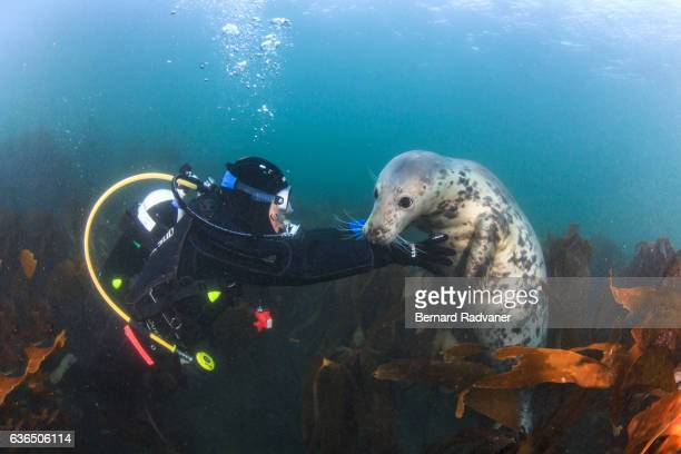 scuba diver playing with a grey seal