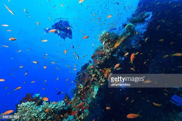 Scuba Diver   Shipwreck  coral colonies  School of red sea fish