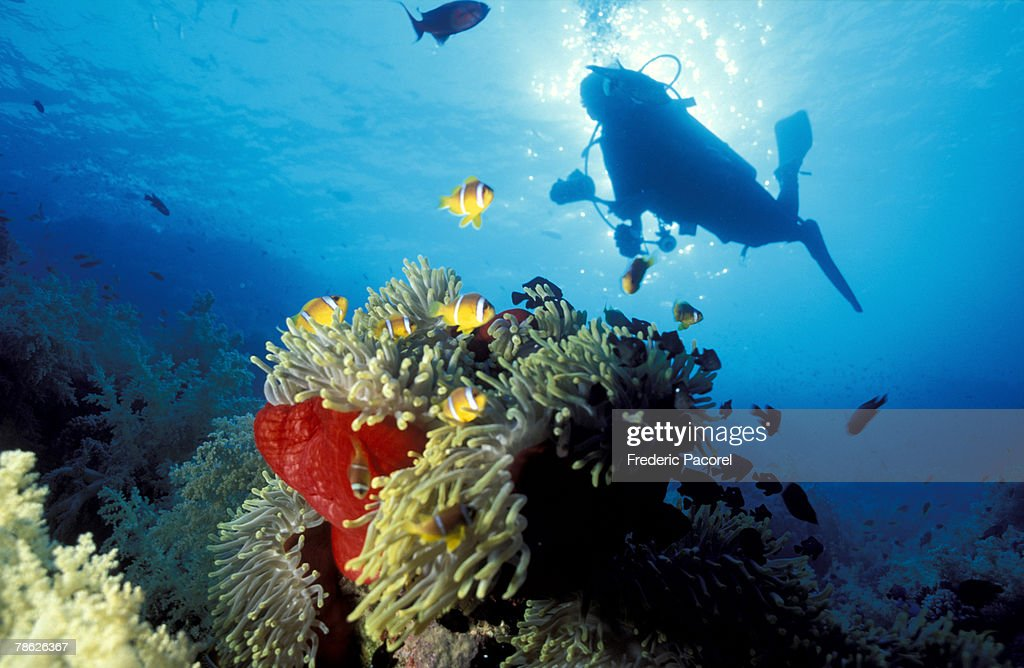 Scuba diver swimming by school of clown fish : Stock Photo