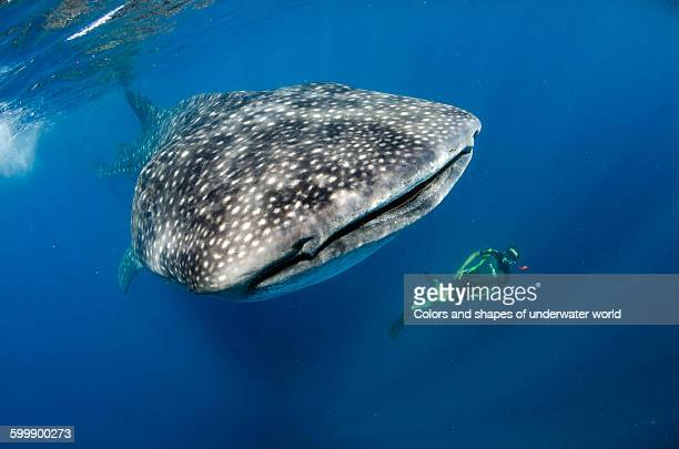 Scuba diver swimming in front of Whale shark