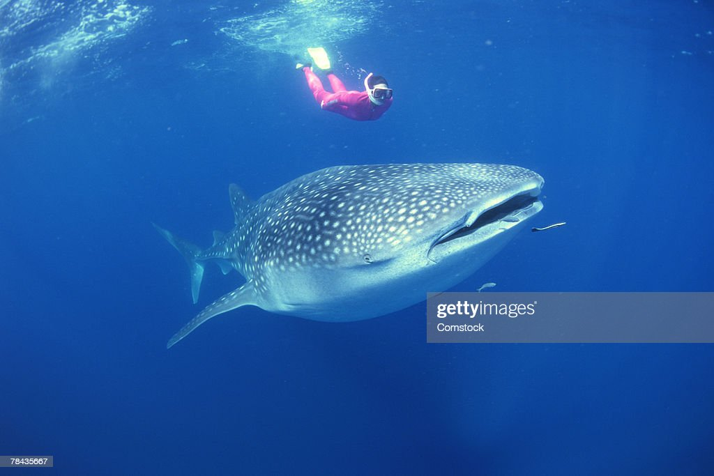 Scuba diver swimming with whale shark : Stockfoto