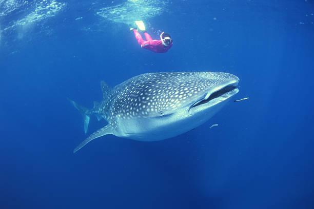 swim with whale sharks Australia