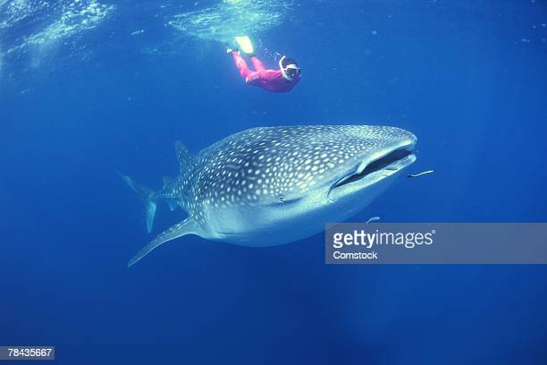 scuba diver swimming with whale shark - whale shark stock pictures, royalty-free photos & images
