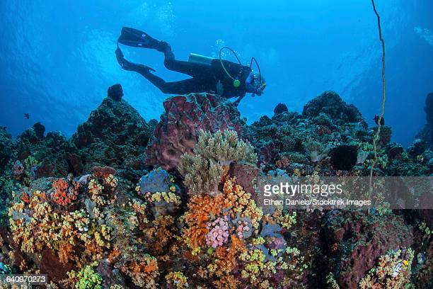 A scuba diver swims above a colorful coral reef near Sulawesi, Indonesia.
