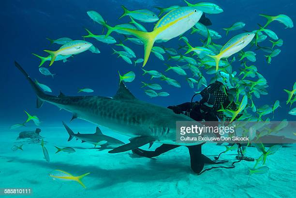 scuba diver touching tiger shark on seabed, tiger beach, bahamas - tiger shark stock photos and pictures