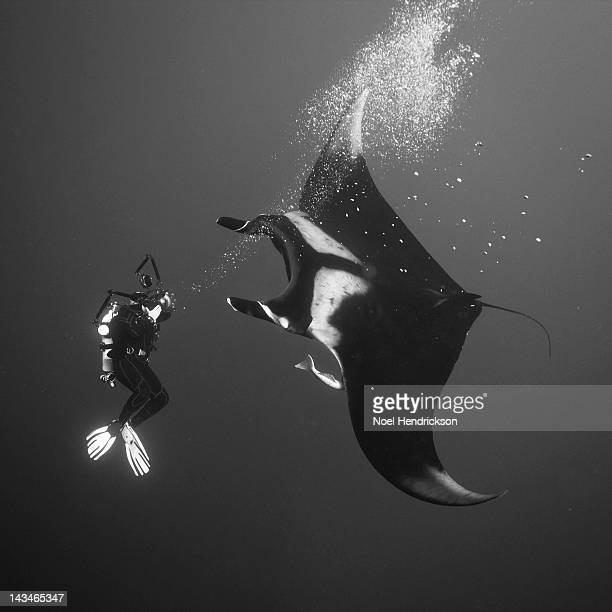 A scuba diver underwater gets close to a Manta ray