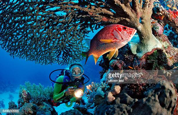 Scuba diver watches Longjawed squirrelfish under table coral Sargocentron spiniferum Egypt Sha'ab Mahlai Red Sea
