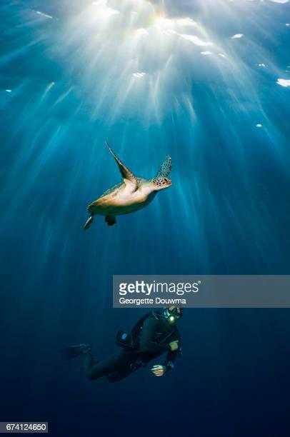 Scuba diver watching a Green sea turtle