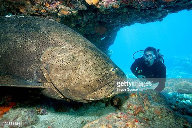 scuba diver with large grouper - loup blanc photos et images de collection