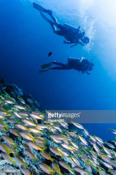 taucher unterwasser schule bigeye schnapper (lutjanus lutjanus) fisch - sporttauchen stock-fotos und bilder