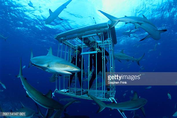 scuba divers observing caribbean reef sharks (carcharhinus perezi) - shark stock pictures, royalty-free photos & images