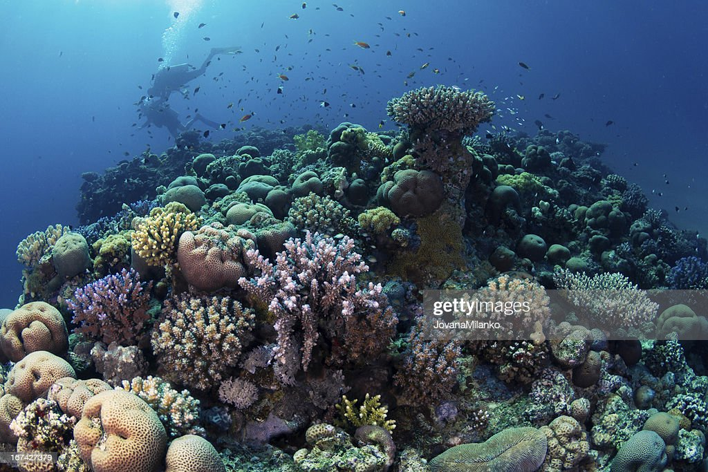 Scuba Diving at Coral Reef : Stock Photo