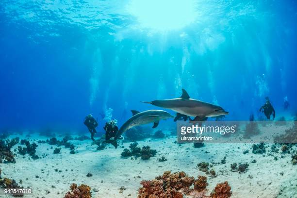 Scuba diving group enjoying with Dolphin   Sea life  school of dolphines  Coral reef Underwater  Scuba diver point of view  Red sea Nature & Wildlife  Underwater photographer