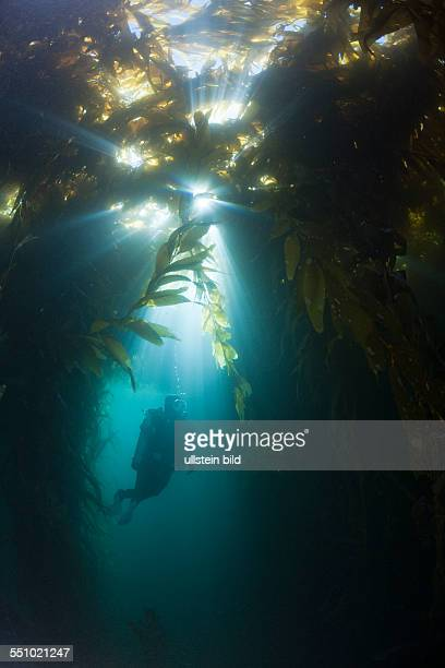 Scuba Diving in Kelp Forest Macrocystis pyrifera San Benito Island Mexico