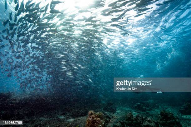 scuba diving with a group of jackfish underwater - underwater film camera stock pictures, royalty-free photos & images