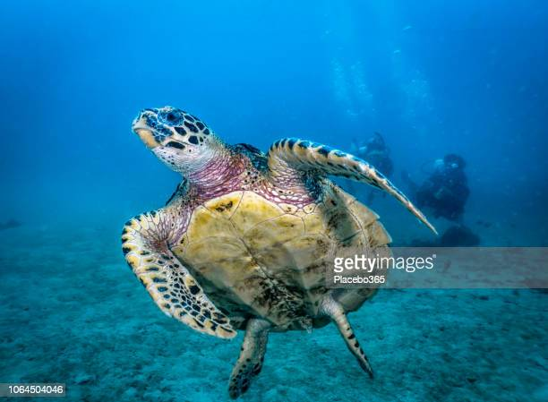 Scuba diving with Critically Endangered Hawksbill Sea Turtle (Eretmochelys imbricata)